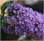 BuddlejaKatrienSterken