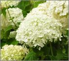 hydrangea arborescens 39 strong annabelle 39 incrediball. Black Bedroom Furniture Sets. Home Design Ideas