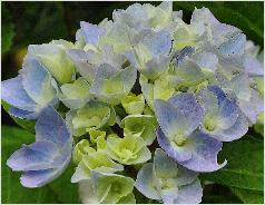 HydrangeamacrophyllaTeverecloseup