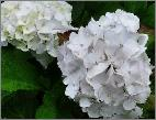 HydrangeamacrophyllaUrsulavnyoungflowers