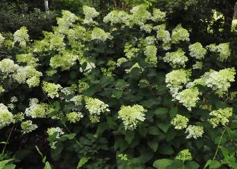 Hydrangea paniculata Bulk 'Early Sensation'