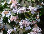 Hydrangea serrata 'Tiara' global picture